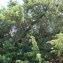 - Juniperus oxycedrus subsp. macrocarpa (Sm.) Ball