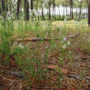 Photographie n°43485 du taxon Silene gallica L.