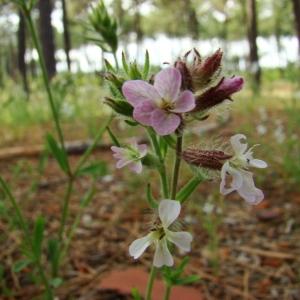 Photographie n°43487 du taxon Silene gallica L.