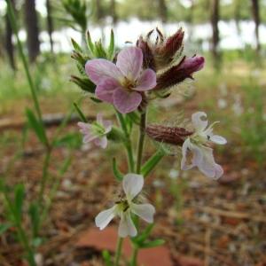 Photographie n°43488 du taxon Silene gallica L.