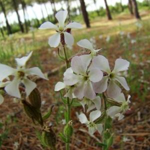 Photographie n°43489 du taxon Silene gallica L.