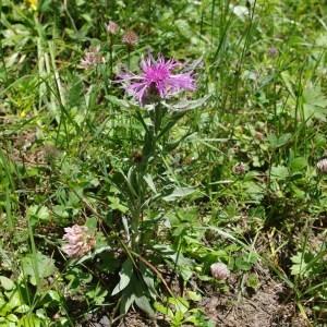 Photographie n°43524 du taxon Centaurea uniflora Turra
