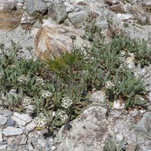 Photographie n°43534 du taxon Achillea nana L. [1753]
