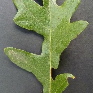 Photographie n°43554 du taxon Quercus cerris L. [1753]