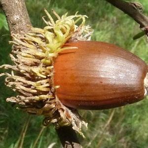 Photographie n°43556 du taxon Quercus cerris L. [1753]