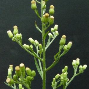 Photographie n°43576 du taxon Conyza sumatrensis (Retz.) E.Walker [1971]