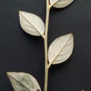 Photographie n°43580 du taxon Cotoneaster franchetii Bois