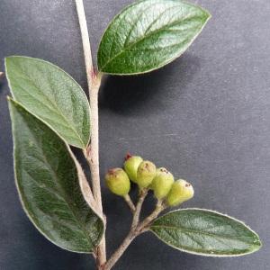 Photographie n°43581 du taxon Cotoneaster franchetii Bois