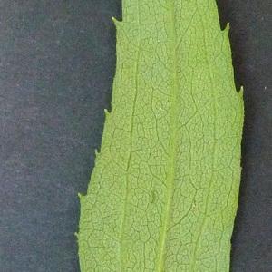 Photographie n°43590 du taxon Solidago gigantea Aiton [1789]