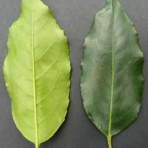 Photographie n°43593 du taxon Prunus lusitanica L. [1753]