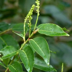 Photographie n°43594 du taxon Prunus lusitanica L. [1753]