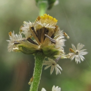 Photographie n°43608 du taxon Galinsoga parviflora Cav.