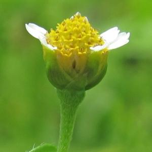 Photographie n°43610 du taxon Galinsoga parviflora Cav.