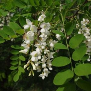 Photographie n°43615 du taxon Robinia pseudoacacia L.