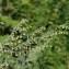 Jean-Luc Gorremans - Artemisia absinthium L.
