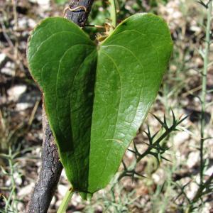 Photographie n°43620 du taxon Smilax aspera L. [1753]