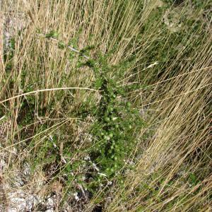 Photographie n°43629 du taxon Asparagus acutifolius L. [1753]