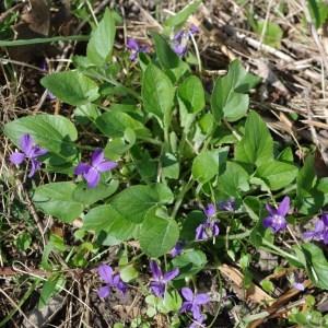 Photographie n°43633 du taxon Viola hirta L. [1753]