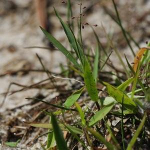 - Dichanthelium acuminatum (Sw.) Gould & C.A.Clark [1979]