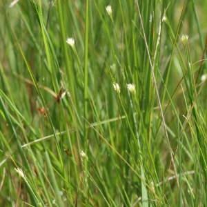Photographie n°43638 du taxon Rhynchospora alba (L.) Vahl