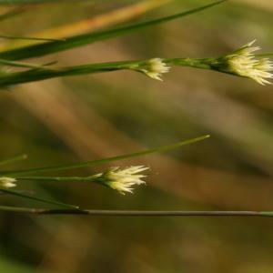 Photographie n°43640 du taxon Rhynchospora alba (L.) Vahl