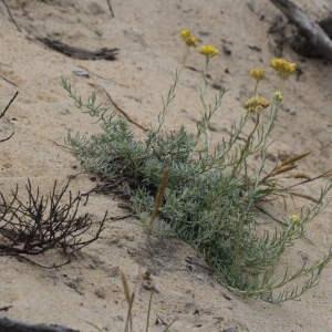 Photographie n°43656 du taxon Helichrysum stoechas (L.) Moench [1794]
