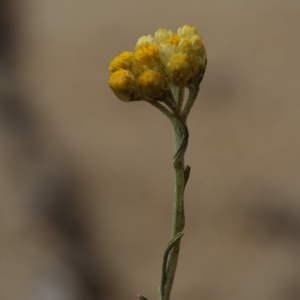 Photographie n°43657 du taxon Helichrysum stoechas (L.) Moench [1794]