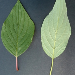 Photographie n°43690 du taxon Cornus alba L.
