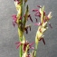 Bertrand BUI - Molinia caerulea (L.) Moench