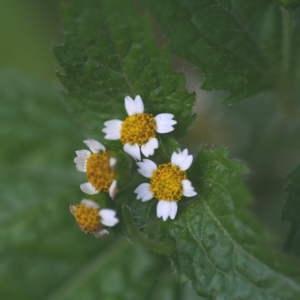 Photographie n°43711 du taxon Galinsoga parviflora Cav.