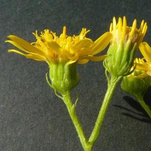 Photographie n°43734 du taxon Senecio erucifolius L.