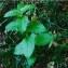 Gabriel CHAPUIS - Melittis melissophyllum subsp. melissophyllum