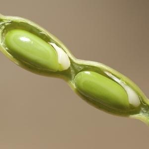 Acacia saligna (Labill.) H.L.Wendl. (Mimosa bleuâtre)