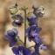 Pierre SEBA - Delphinium staphisagria L.