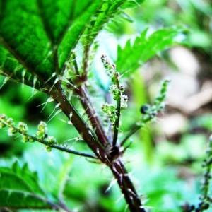 Urtica atrovirens Req. ex Loisel. (Ortie vert noirâtre)