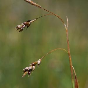 Photographie n°43830 du taxon Carex capillaris L. [1753]