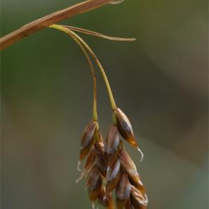 Carex capillaris L. (Laiche à feuilles capillaires)