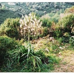 - Asphodelus ramosus subsp. ramosus