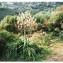 Gabriel CHAPUIS - Asphodelus ramosus subsp. ramosus
