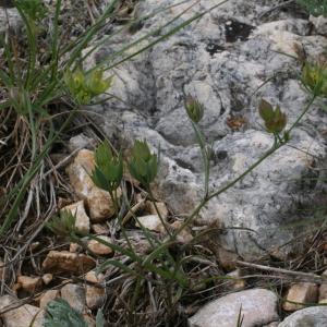 Photographie n°43844 du taxon Bupleurum baldense Turra