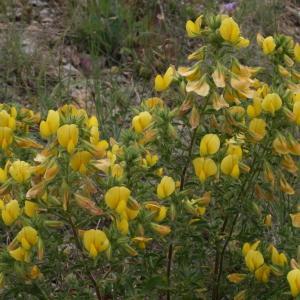 Photographie n°43863 du taxon Ononis natrix L. [1753]