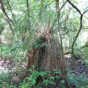 Photographie n°43895 du taxon Carex paniculata L.