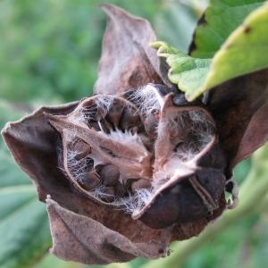 Photographie n°43897 du taxon Hibiscus palustris L. [1753]