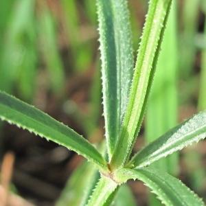 Photographie n°43901 du taxon Galium spurium L. [1753]