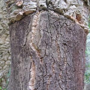 Photographie n°43904 du taxon Quercus suber L. [1753]