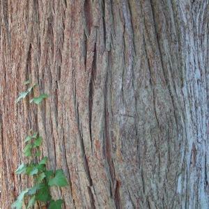 Taxodium distichum (L.) Rich. (Cyprès chauve)