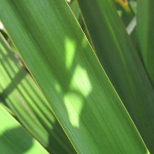 Photographie n°43924 du taxon Yucca gloriosa L.