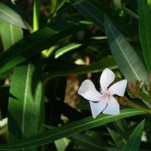 Photographie n°43952 du taxon Nerium oleander L. [1753]