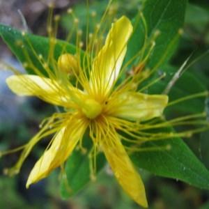 Photographie n°44051 du taxon Hypericum hircinum L. [1753]