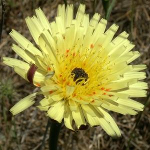 Photographie n°44062 du taxon Urospermum dalechampii (L.) Scop. ex F.W.Schmidt [1795]